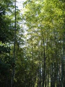 ...enormes bambúes...
