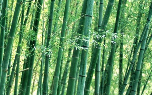 Zhú - El bambú