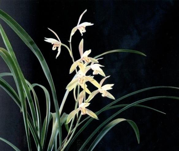 Lan Hua 兰花