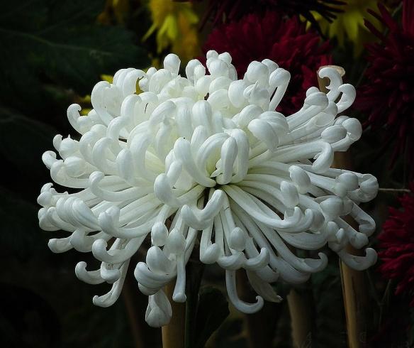 Crisantemo kiku sumie María Eugenia Manrique